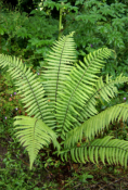 Aspidiaceae
